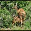 Mule Deer Fawns at Lunch