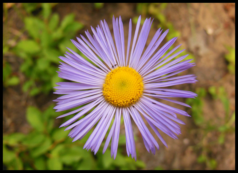 Aster (Photo by IM)