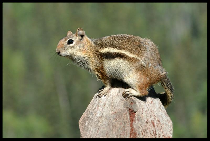 "Golden-mantled Ground Squirrel - this is NOT a ""chipmunk""!"