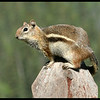 "Golden-mantled Ground Squirrel - this is NOT a ""chipmunk""!"