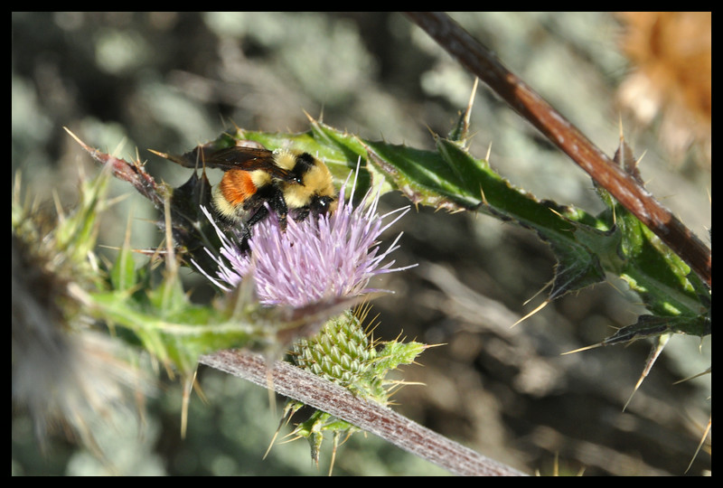 Bumblebee in Thistle