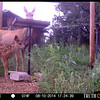 2014 Edition Mule Deer Fawn (Photo by automatic game camera just before we left on our trip).