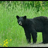 Small Black Bear