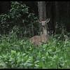 White Tail Deer at Dusk