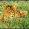 A Big Ole Majestic Male Lion