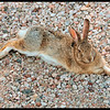 Cottontail Rabbit Sprawling in Gravel to Cool Off (94 degrees F)