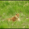 Lioness in the Grass (Photo by IM)