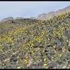 Desert Gold Wildflowers