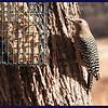 Male Gila Woodpecker.