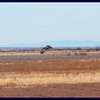 Incoming Sandhill Cranes