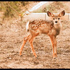 2017 Mule Deer Fawn