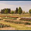 The Tulip Gardens