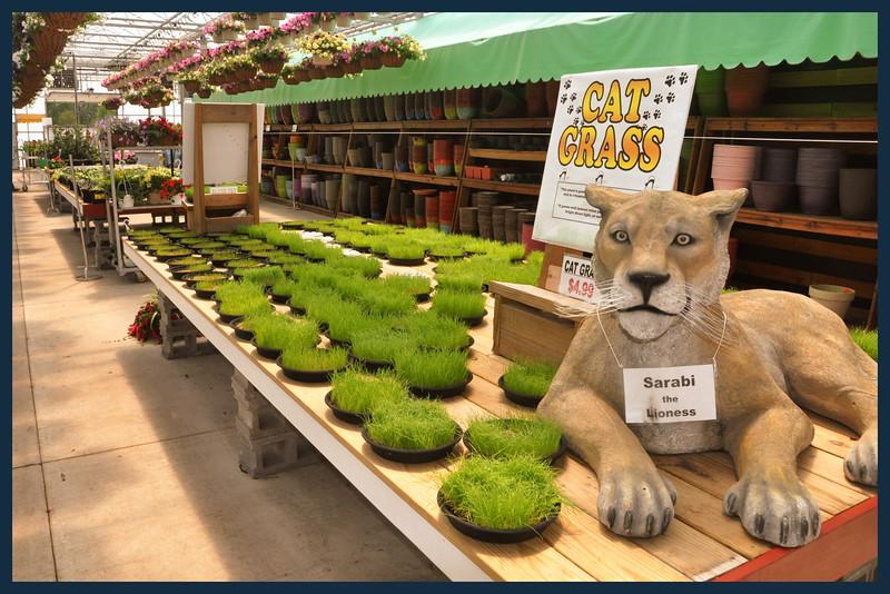 Cat Grass.