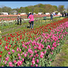 People Posing in the tulips.