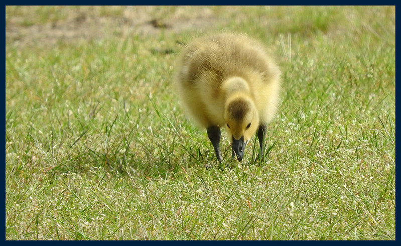 Gosling in the Grass (Photo by IM).