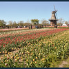 IM near tulips.