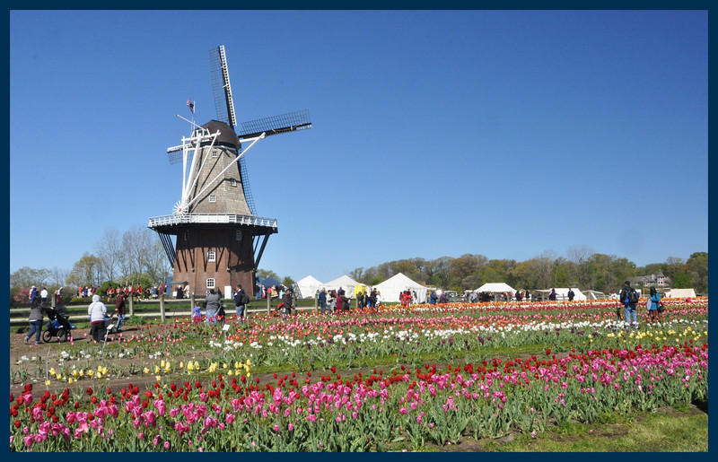 Tulips near the windmill.