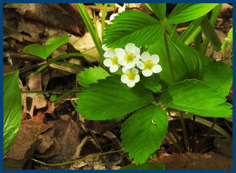 Small blossoms on wild strawberry plants (Photo by IM).