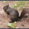 Michigan Black Squirrel