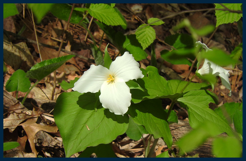 Trillium flower (Photo by IM).