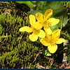 Marsh Marigold flowers (Photo by IM).