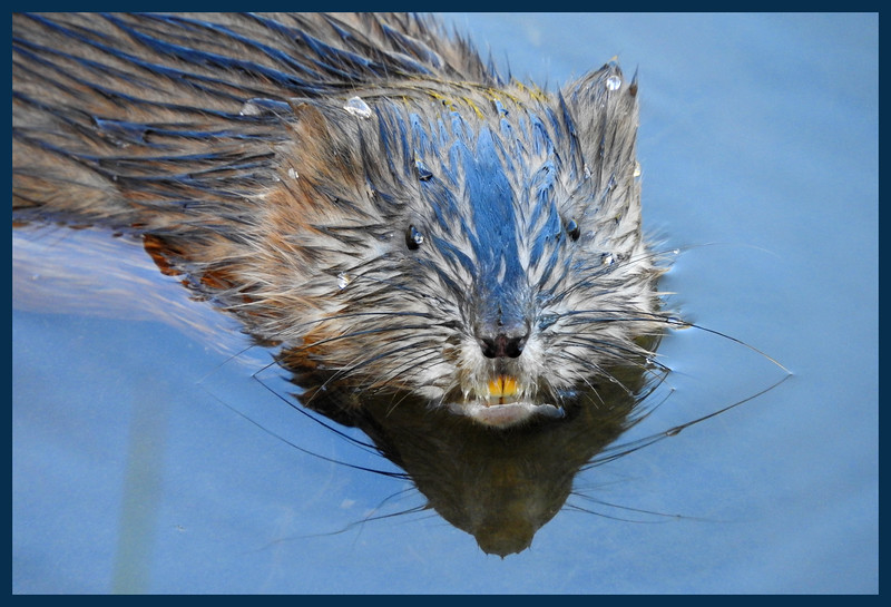 Local pond dweller Mr. Yellow Teeth - Is this a muskrat?