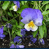 This beautiful little flower is a pansy (Thanks Marsha).