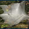 Tent-worm nest.