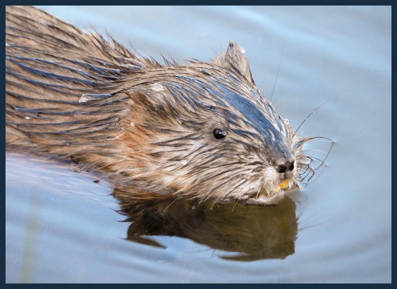 Local pond dweller - Is this a muskrat?