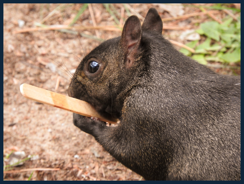 Michigan Black Squirrel with his favorite ice cream bar stick.