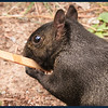 Michigan Black Squirrel with his favorite ice cream bar stick.