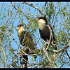 A pair of Caracara