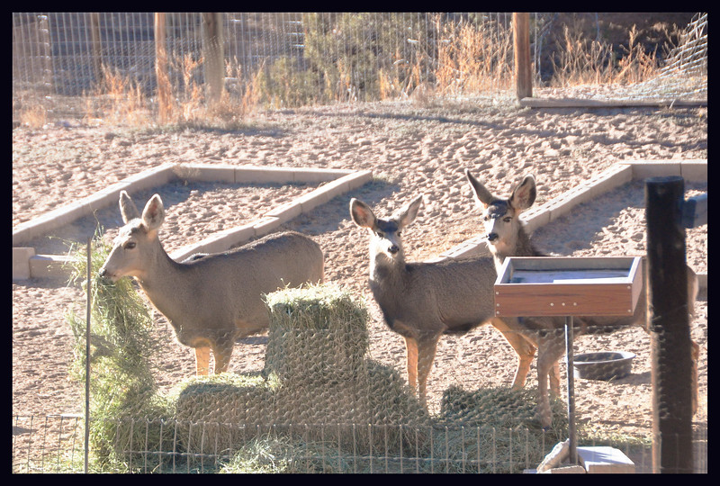Mule deer and their Christmas present of alfalfa.
