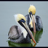 A pair of Pelicans - Love Birds?  (Photo by IM)