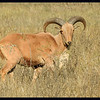 A Urial - An imported sheep-like animal