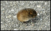 Vole in the Parking Lot