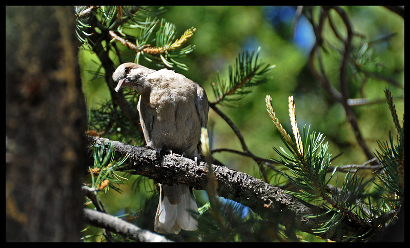 Young Collared Dove Studying the Photographer