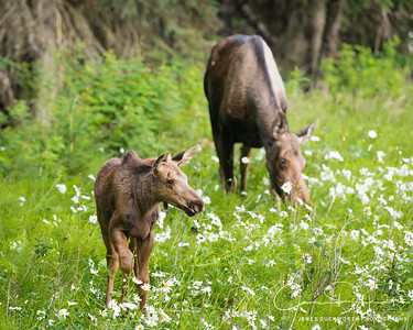 Moose Calf with Mother