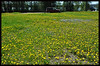 Dandelion - National Flower of the Yukon