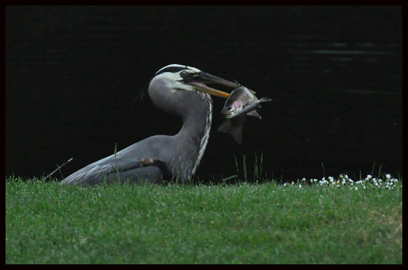 Heron with Rainbow Trout at 0623 HRS at a Small Pond