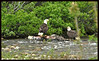 Two Bald Eagles Eating Carrion beside Willow Creek