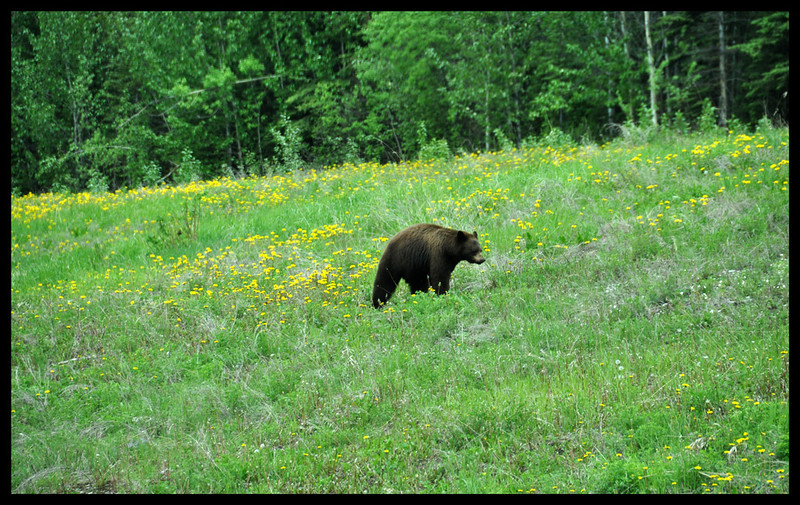 Black Bear Along the Highway