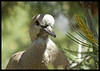 Collard Dove - Juvenile