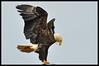 Bald Eagle Landing on a Lamp Post