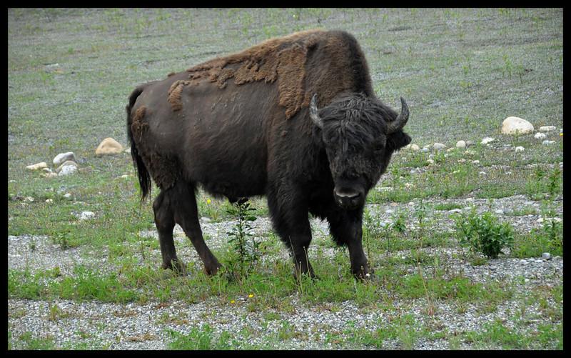 Roadside Wood Bison