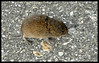 Vole in the Parking Lot (Wildlife)