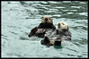 """Sea Otters (the white haired one is """"elderly"""")"""