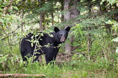 Bear III