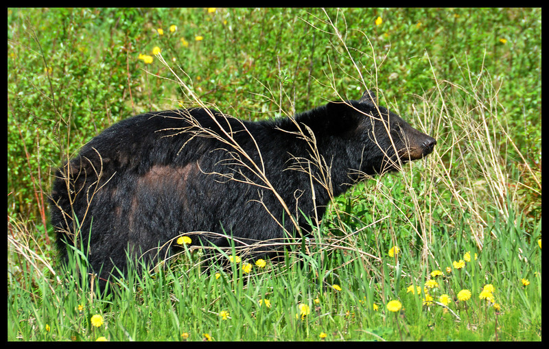 Black Bear Along the Highway - A Daily Event