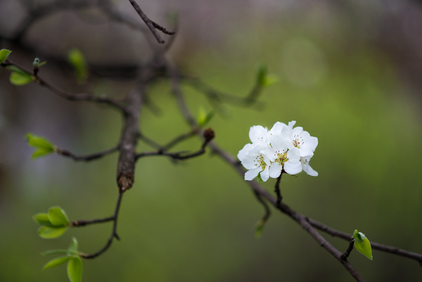 An Armenian plum tree blooms in the spring.